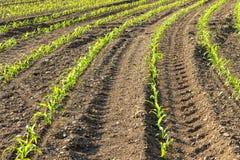 Rzędy małe kukurydzane rośliny od organicznie uprawiać ziemię w Włochy Fotografia Royalty Free