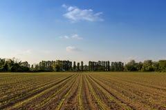 Rzędy małe kukurydzane rośliny od organicznie uprawiać ziemię w Włochy z błękitnym Fotografia Stock