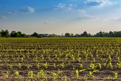 Rzędy małe kukurydzane rośliny od organicznie uprawiać ziemię w Włochy z błękitnym Fotografia Royalty Free