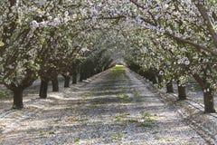 Rzędy migdałowi drzewa kwitnie płatki na ziemi Zdjęcia Royalty Free