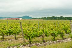 Rzędy siedemdziesiąt roczniaków gronowych winogradów w Hiszpania obraz stock