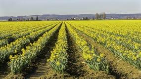 Rzędy Wcześni Daffodils Obrazy Royalty Free