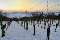 Rzędy winnicy zakrywający z białym śniegiem w zimie Winnicy przy zmierzchem Obraz Stock