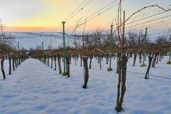 Rzędy winnicy zakrywający z białym śniegiem w zimie Winnicy przy zmierzchem Zdjęcie Stock