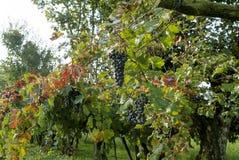 Rzędy winograd z lambrusco winogronami zdjęcie royalty free