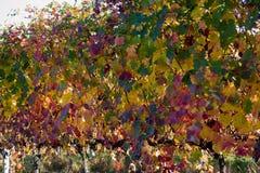 Rzędy winogradu lambrusco jesień barwią wino festiwal winogrono zdjęcia stock