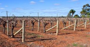 Rzędy winogrady, trzciny Staczać się na Trellis Fotografia Stock