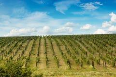 Rzędy winogrona Obraz Royalty Free