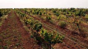 Rzędy winorośle r w wiejskiej wsi zbiory