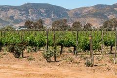 Rzędy winorośle w Ensenada, Meksyk obraz stock