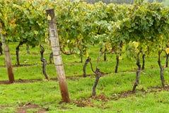 rzędy wspierający wyszkoleni winogrady Obraz Royalty Free