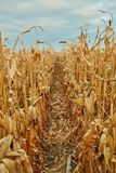 Rzędy wysuszone kukurydzane rośliny, Zea Maj Fotografia Royalty Free