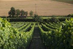Rzędy zieleni winnicy w pierwszoplanowym fechtujący się daleko hed Obraz Stock