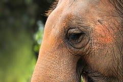 Rzęsy żeński Azjatycki słoń zdjęcie stock