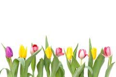 rzędów tulipany Obraz Royalty Free