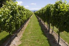 rzędów winogrady Obraz Stock