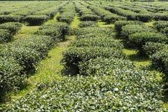 Rząd Herbata w Polu Fotografia Royalty Free
