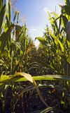 rząd kukurydziany Fotografia Stock