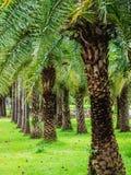 Rząd tropikalny drzewko palmowe w miasto parku Fotografia Royalty Free
