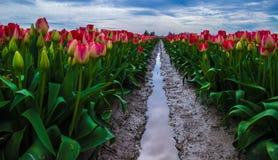 Rząd tulipany Obraz Royalty Free