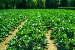 Rzędy courgettes na gospodarstwie rolnym Obrazy Stock