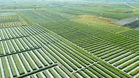 Rzędy czerwonej cebuli ziemia uprawna Fotografia Stock