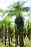 Rzędy drzewko palmowe linii grunt rolny w Costa Rica obraz royalty free