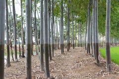 Rzędy eukaliptus na kopu Fotografia Stock