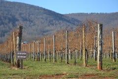 Rzędy gronowi winogrady obrazy stock