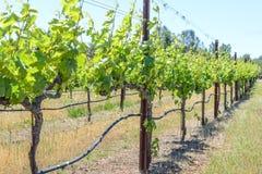 Rzędy Gronowi winogrady Obraz Stock