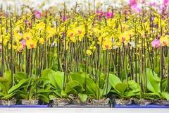 Rzędy kolorowe orchidee Zdjęcie Stock