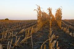 Rzędy spadek kukurudzy badyle Fotografia Royalty Free