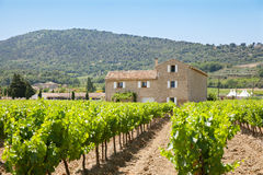 Rzędy winogrady Fotografia Royalty Free