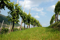 Rzędy winogrady w wzgórzach Prosecco Fotografia Stock