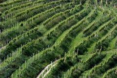 Rzędy winogrady w wzgórzach Prosecco Zdjęcia Stock