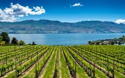 Rzędy winogrona w winnicy na Okanagan jeziorze Obraz Royalty Free