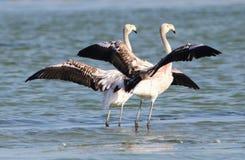 Rzadcy Czarni flamingi Fotografia Stock