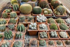 Rzadcy egzotyczni kaktusy Zdjęcie Royalty Free