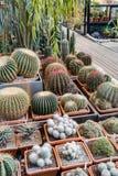 Rzadcy egzotyczni kaktusy Obraz Royalty Free