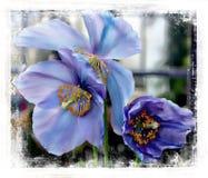 Rzadcy i piękni Himalajscy Błękitni maczki zdjęcie stock