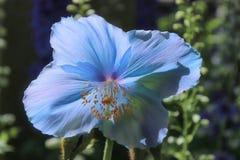 Rzadcy i piękni Himalajscy Błękitni maczki fotografia royalty free