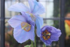 Rzadcy i piękni Himalajscy Błękitni maczki fotografia stock