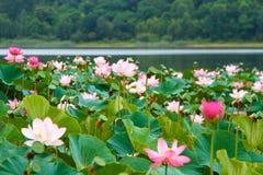 Rzadcy i piękni Lotosowi kwiaty Fotografia Stock