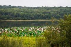 Rzadcy i piękni Lotosowi kwiaty w jeziorze Obraz Stock