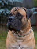 Rzadcy psów trakeny Zbliżenie portret piękny psi trakenu południe - afrykanin Boerboel na zieleni i bursztynu trawy tle Zdjęcie Stock