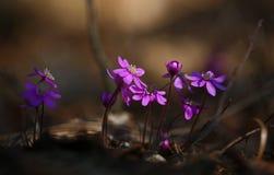 Rzadcy różowi Dzicy lasowi Hepatica nobilis obrazy stock