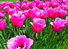 Rzadcy różowi tulipany w Keukenhof Zdjęcia Royalty Free