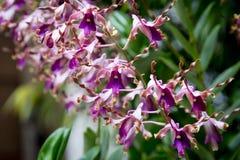 Rzadka Dendrobium orchidea od Singapur ogródów zdjęcie royalty free