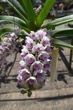 Rzadka gatunku azjata orchidea Zdjęcia Stock