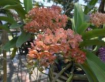 Rzadka gatunku azjata orchidea Obraz Stock